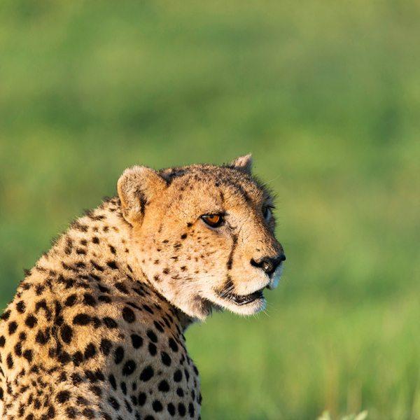 Cheetah can also be found in the Central Kalahari. © Kwando Safaris