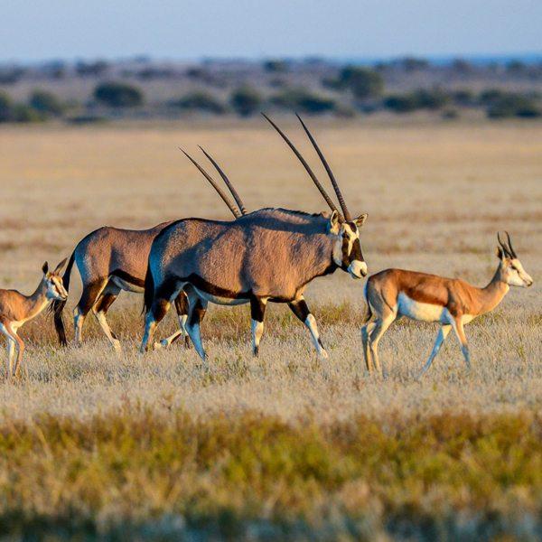 Oryx and springbok can often be seen wandering the Central Kalahari. © Kwando Safaris