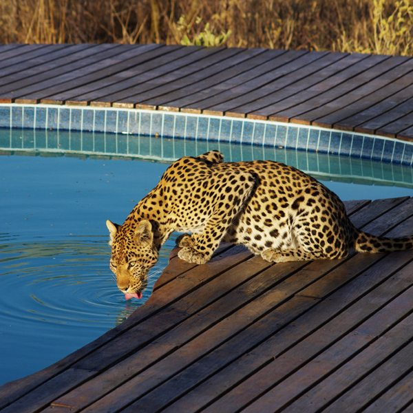 Now this is a special sighting: a leopard caught drinking from the pool at Tau Pan. © Kwando Safaris