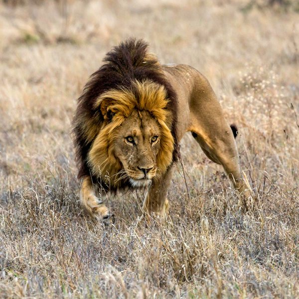 The black-maned lion of the Central Kalahari is particularly striking. © Kwando Safaris