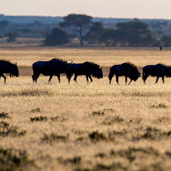 Wildebeest live in the Central Kalahari. © Kwando Safaris