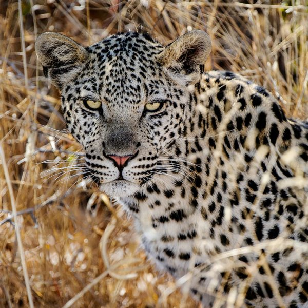 While leopard are generally rarely seen, you might get lucky in the Central Kalahari. © Wilderness Safaris