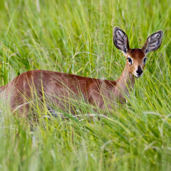Steenbok, which live in the Central Kalahari, have gorgeous ears. © Wilderness Safaris