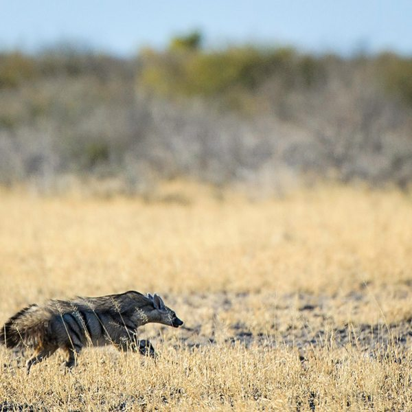 The aardwolf, found in the Central Kalahari, is in the same family as the hyena. © Wilderness Safaris