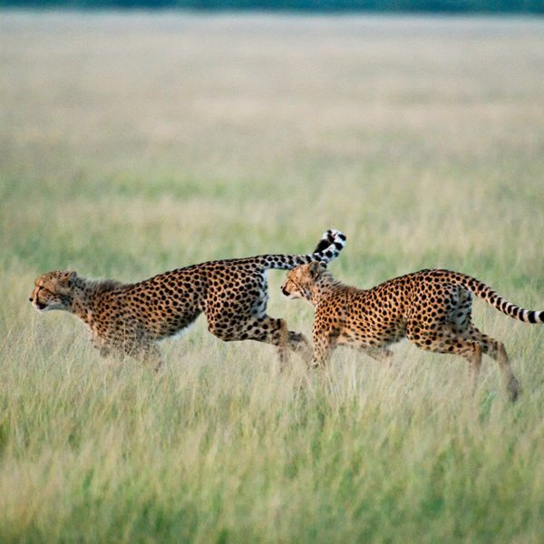 In the Central Kalahari you can see the world's fastest land animal: cheetah. © Wilderness Safaris