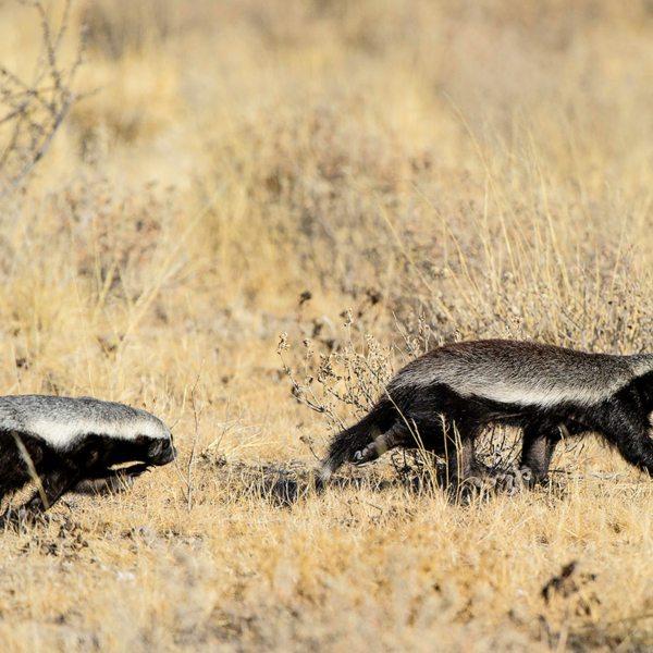 The Central Kalahari is home to honey badgers. © Wilderness Safaris