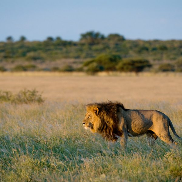 This lion seems to have spotted something of interest in the Central Kalahari. © Wilderness Safaris
