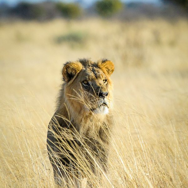 A safari in the Central Kalahari allows for magical encounters with lion. © Wilderness Safaris