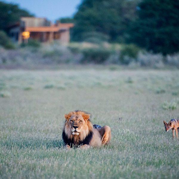 This Central Kalahari jackal seems curious about the lion. © Wilderness Safaris