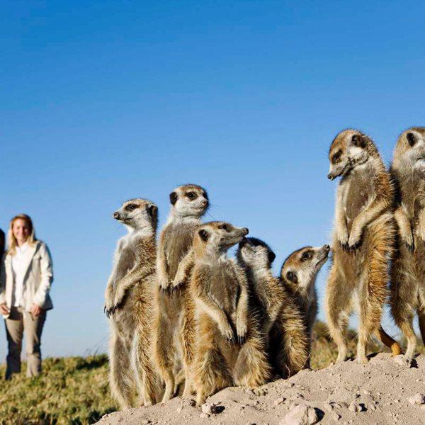 The Kalahari meerkats have close family ties. © Uncharted Africa
