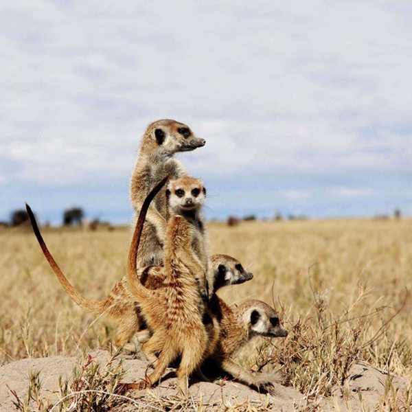 The meerkats in the Makgadikgadi seem to enjoy each other's company. © Uncharted Africa