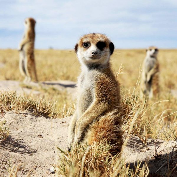 The Kalahari meerkats have sentries, keeping guard over the family. © Uncharted Africa