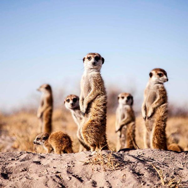 The Kalahari meerkats stand on their hind legs to get a better view of their surrounds. © Uncharted Africa