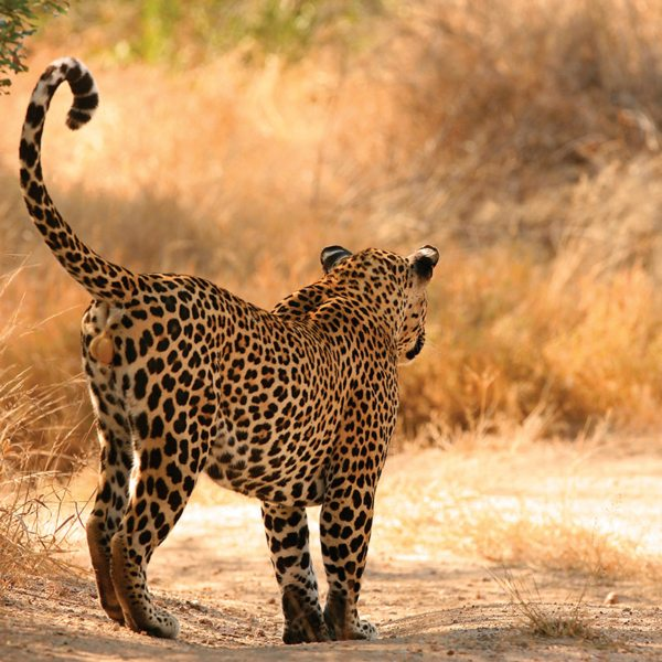 There are leopard in &Beyond Ngala Private Game Reserve, where Ngala Tented Camp is located. © &Beyond