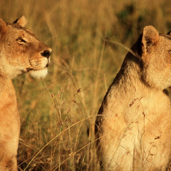 The Greater Kruger is known for its big-cat encounters. © &Beyond