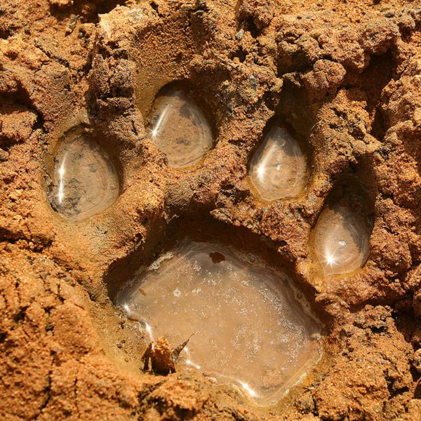 You can go tracking from Ngala Tented Camp. © &Beyond