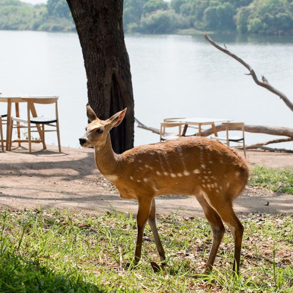 Wildlife come right into camp at Matetsi River Lodge. © &Beyond
