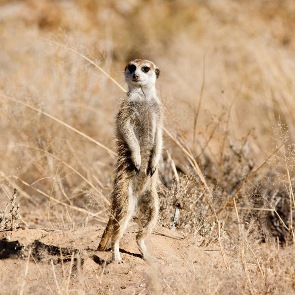 This Kalahari meerkat has stretched right onto its tippy-toes.