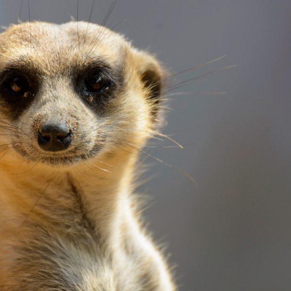 The scientific name for 'meerkat' is Suricata suricatta.