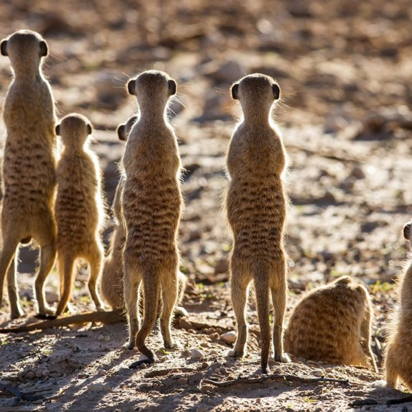 These meerkats seem to have seen something of interest in the Kalahari.
