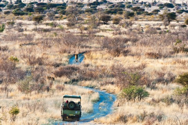 You might end up following a lion on your game drive from Tau Pan. © Kwando Safaris