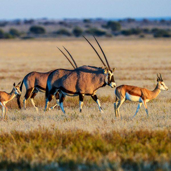 Oryx and springbok can often be seen wandering Tau Pan. © Kwando Safaris