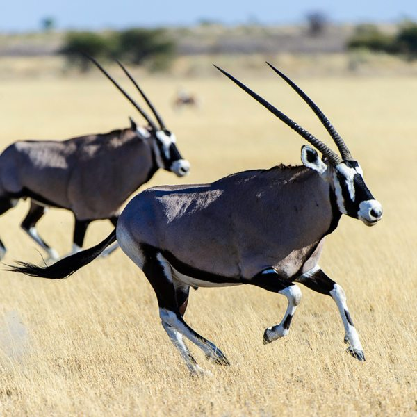 The majestic oryx can be found near Kalahari Plains Camp. © Wilderness Safaris