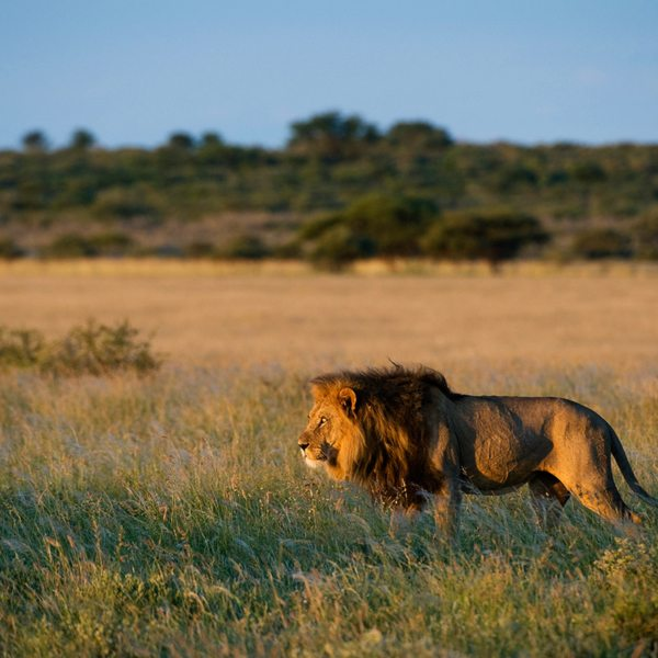 This lion, near Kalahari Plains Camp, seems to have spotted something of interest. © Wilderness Safaris