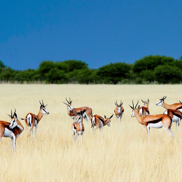 Springboks in the Central Kalahari can be identified by their striped flanks. © Wilderness Safaris