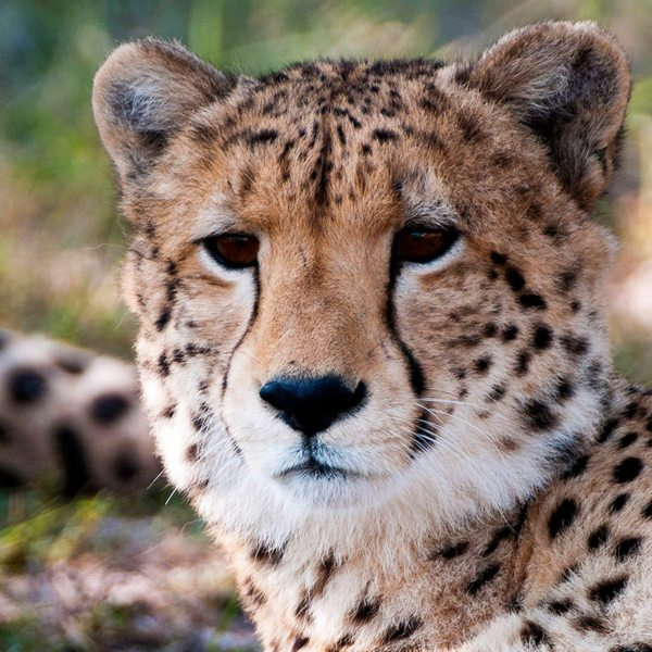 You might spot a cheetah near Kings Pool. © Wilderness Safaris