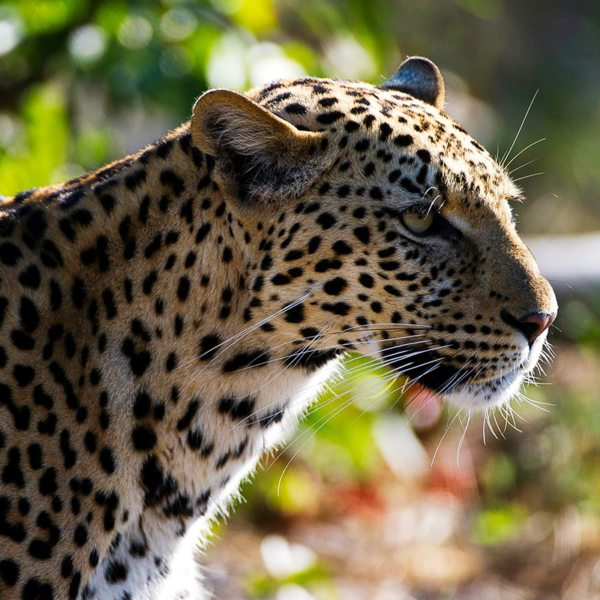 The shy leopard roams the land near Kings Pool. © Wilderness Safaris