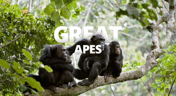 Observing Africa's apes in their natural environments is a highlight of an African safari.