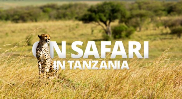 Seeing a cheetah survey the Tanzanian savannah from your vehicle is a thrilling part of an African safari.