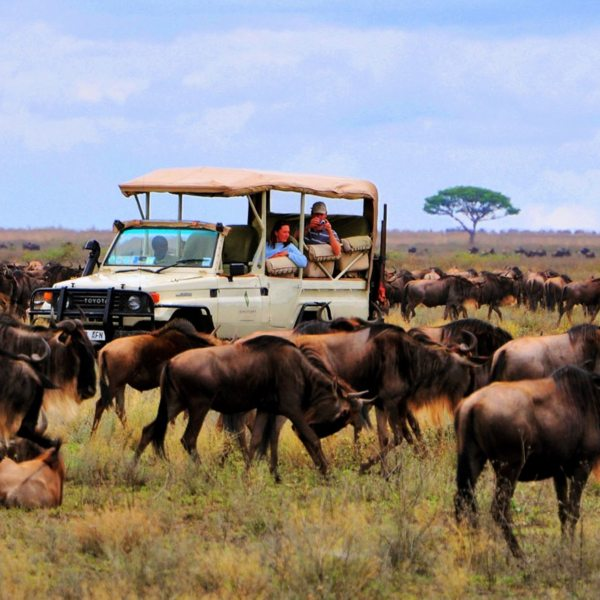 A stay at Sanctuary Kichakani Serengeti Camp will ensure you see the Great Wildebeest Migration.