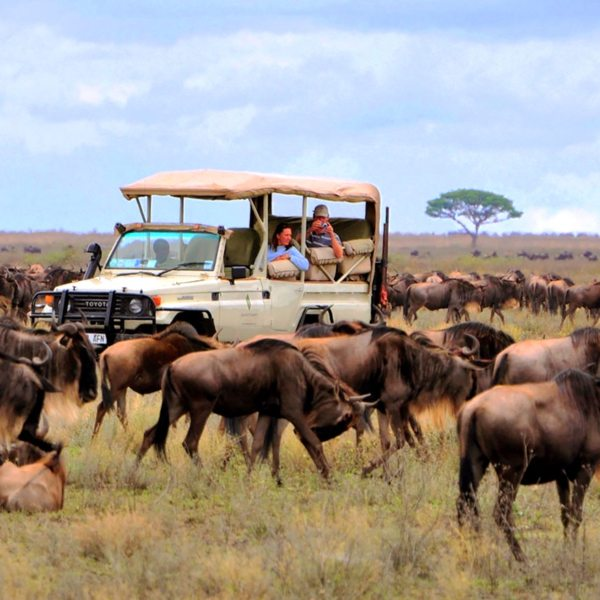 A stay at Sanctuary Serengeti Migration Camp will ensure you see the Great Wildebeest Migration.