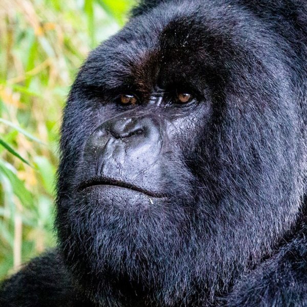 Gorilla trekking Bwindi | The silverback is named for the silvery grey hairs that grow when the male matures.