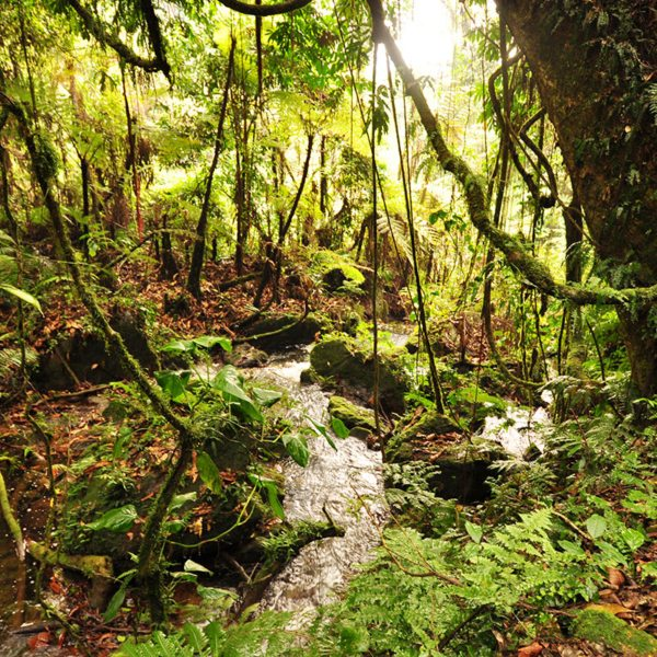 Bwindi Impenetrable Forest is as dense as its name suggests. © Sanctuary Retreats