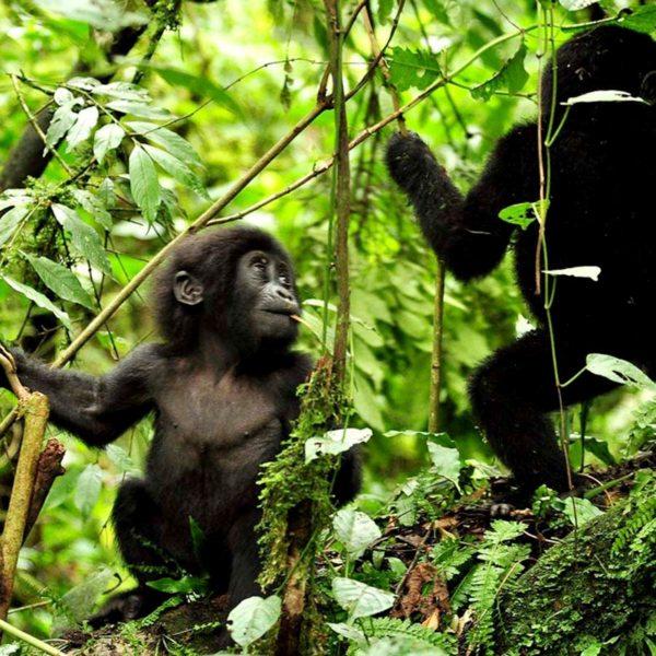 You might see baby gorilla when gorilla trekking in Bwindi. © Sanctuary Retreats