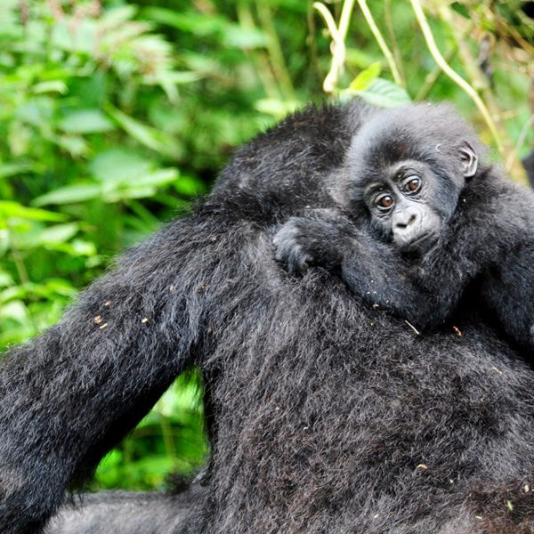 Baby gorilla ride on their mothers' backs, as you might see in Bwindi. © Sanctuary Retreats