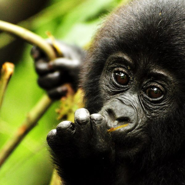 This baby gorilla doesn't appear to be bothered by the gorilla trekkers taking its picture. © Sanctuary Retreats
