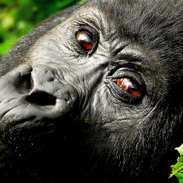 Gorilla have intelligent eyes, like this one in Bwindi Impenetrable Forest. © Sanctuary Retreats