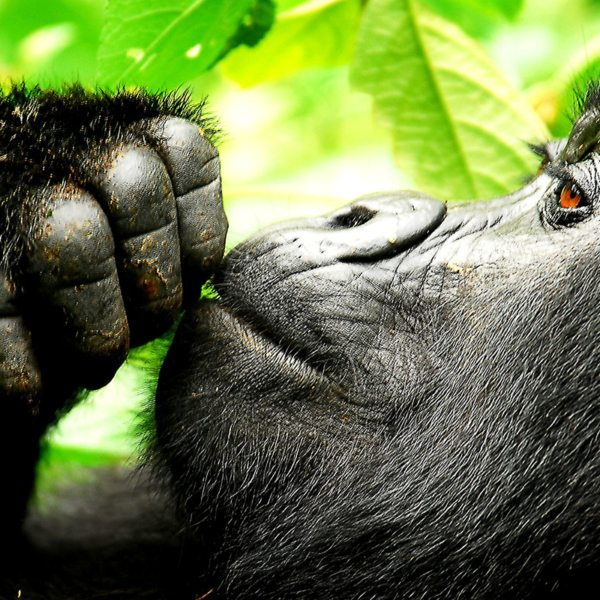 Gorilla spend much of their time relaxing, as you'll see when gorilla trekking in Bwindi. © Sanctuary Retreats