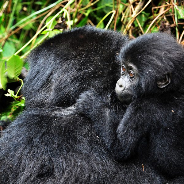 The female gorilla you'll see when gorilla trekking usually only have one surviving offspring every six to eight years. © Sanctuary Retreats
