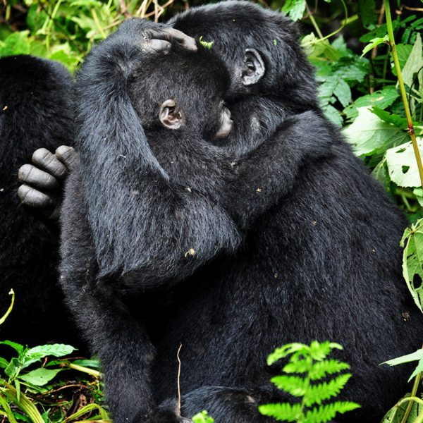 The gorilla you'll see when gorilla trekking are often very affectionate towards each other. © Sanctuary Retreats