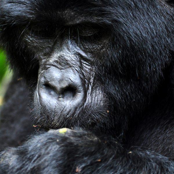 The mountain gorilla you'll see when gorilla trekking in Bwindi survive on plants. © Sanctuary Retreats