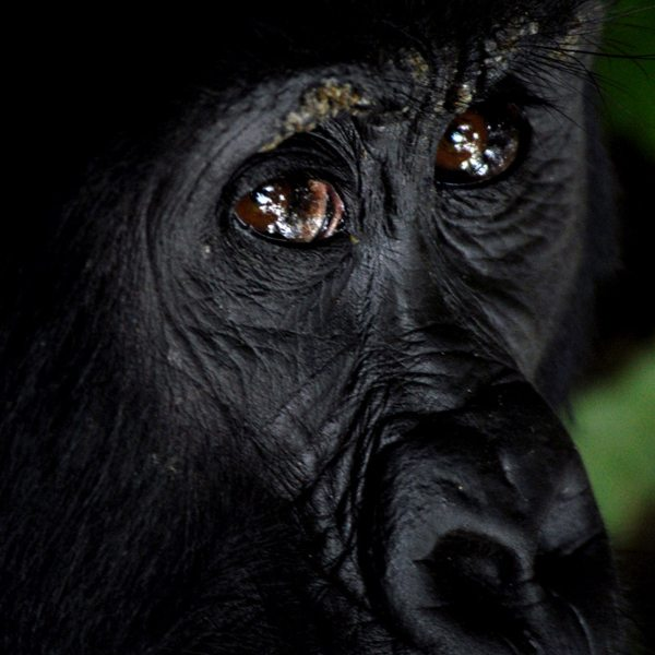 It's hard to tell the gender of most gorilla, as you'll see when gorilla trekking in Bwindi. © Sanctuary Retreats