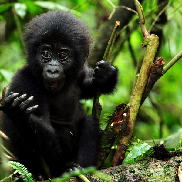 Gorilla have fingers much like humans, as you'll notice when gorilla trekking in Bwindi. © Sanctuary Retreats