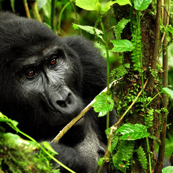 The jungle you trek through in Bwindi provides everything the mountain gorilla need to survive. © Sanctuary Retreats