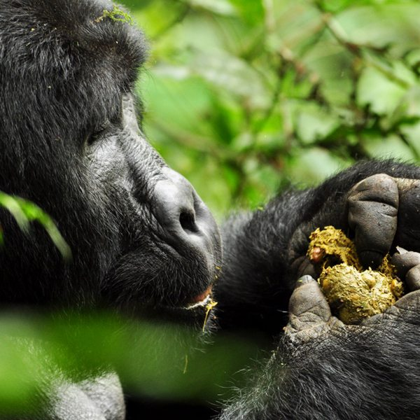 If you see a gorilla eating faeces in Bwindi, it's because it enables them to gain certain nutrients. © Sanctuary Retreats