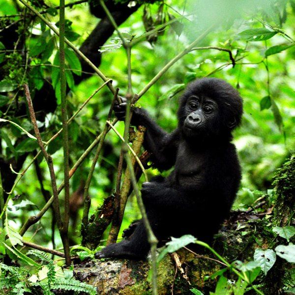 The gorilla infants you see when gorilla trekking in Bwindi develop much quicker than humans. © Sanctuary Retreats
